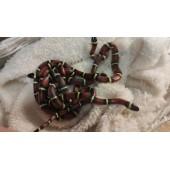 Молочная Синалойская змея