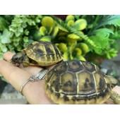 Балканские сухопутные черепахи