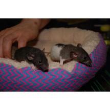Декоративные крысы Дамбо