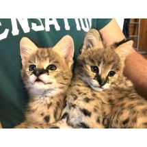 Сервал - ручные котята для содержания в семье