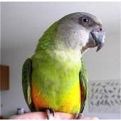 Сенегальский попугай-выкормыш