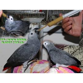 Краснохвостый жако. Африканский серый попугай