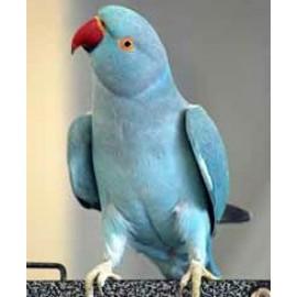 Ожереловые попугаи выкормыши полностью ручные