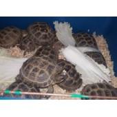 Среднеазиатские сухопутные черепахи