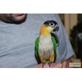 Ручной птенец Черноголовый белобрюхий попугай