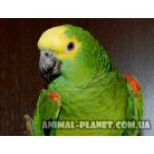 Ручной птенец Суринамского Амазона